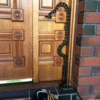 Carpet Python Climbing Front Door